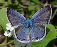 Reakirt's Blue (Echinargus isola) - flowers and buds of Mimosa (Albizia julibrissin), various types of Milk-Vetch (Astragalus spp.), White Prairie Clover (Dalea candida), Purple Prairie-Clover (Dalea purpurea), various types of Bundle-Flower (Desmanthus spp.), Scarlet-Pea (Indigofera m. miniata), Western Scarlet-Pea (Indigofera m. leptosepala), Alfalfa (Medicago sativa), White Sweet-Clover (Melilotus albus), various types of Catclaw (Mimosa spp.), Honey Mesquite (Prosopis glandulosa)…