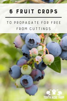 6 Fruit Crops to Propagate for Free from Cuttings: Growing fruit crops is really exciting, but the cost of buying new plants is not. Here are 6 fruit crops to propagate for free from cuttings. Fruit Garden, Edible Garden, Herb Garden, Garden Plants, House Plants, Permaculture, Growing Fruit Trees, Growing Blueberries, Blueberry Bushes