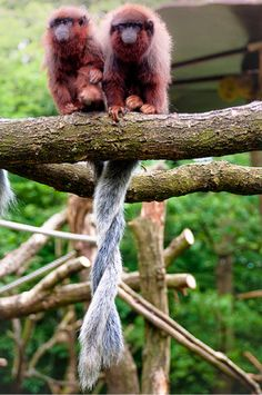 Titi monkeys. They mate for life and sit with their tails entwined. Awe ...