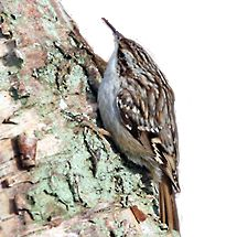 boomkruiper / Martin Hierck Boomkruiper Anders dan de boomklever is de boomkruiper erg schuw en bescheiden. Met zijn bruingevlekte veren valt hij nauwelijks op als hij langs een stam omhoog hipt. Hij zoekt dan met zijn lange snavel naar insecten in de bast van de boom. Is hij boven aangekomen, dan vliegt hij naar de voet van een volgende boom. De boomkruiper vindt het fijn als uw tuin een beetje rommelig is. Dan kan hij zich goed verschuilen.