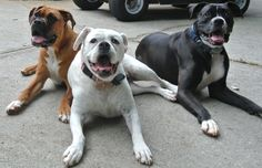 #boxers #dogs in three flavors