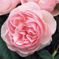 HERITAGE English Rose - bred by David Austin