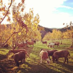 sheep... hood river valley in autumn