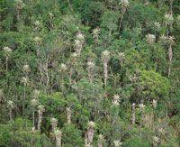 Frailejonal arbustal en el que sobresale Espeletia uribei, endémico de Chingaza; se caracteriza porque alcanza alturas superiores a 10 m en el borde del bosque altoandino.