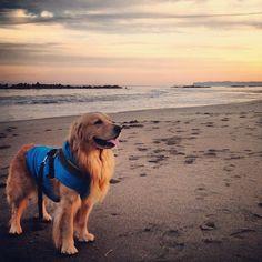 at the beach #golden #goldenretriever #dog