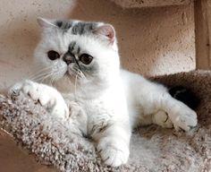 Pretty kitty Pretty Cats, Beautiful Cats, Pretty Kitty, Flat Faced Cat, Scottish Fold Kittens, Munchkin Kitten, Himalayan Cat, Exotic Cats, Persian Kittens