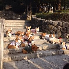 Corgis gathering