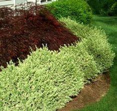 Plant of the Day Variegated English Boxwood English boxwood