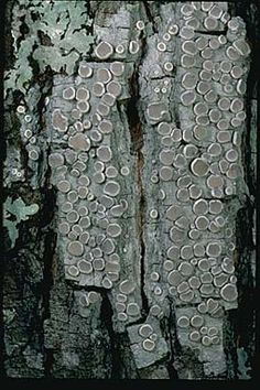 Gray lichen! Much like the Clay Parchment fungi....by Stephen/Sylvia Sharnoff