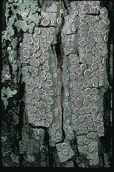 "Lecanora caesiorubella subspecies prolifera, one of several subspecies of the ""frosted rim-lichen"" on tree bark in Arkansas. Photograph copyright Stephen/Sylvia Sharnoff"