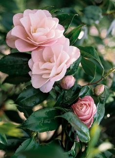 Camellia japonica 'Hagoromo' AKA 'Magnoliaeflora' (Japan, by 1841) Recommended for US Gulf Coast by Camelia Garden Field Guide.