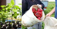Výsev - máte v plánu pěstování paprik? Potom vyzkoušejte aktuální velký hit mezi zahrádkáři. Jde o pěstování pomocí horké vody