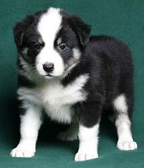Domino!    Ontario Purebred Border Collies. Breeders of family raised border collie puppies. Black and white, red and white, tri-colour. Bur Hill Border Collies. Border Collie. London Ontario.