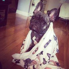 """I just got a Bath, now I'm Cold', French Bulldog Puppy."