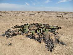Welwitschia mirabilis in the Namib desert, Angola
