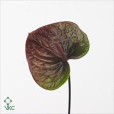 Anthurium Paradise Antique is a grren & brown variety with a beige stamen. 20 stems per box = small flower heads.