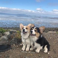 This pretty corgi puppy will brighten your day. Dogs are fascinating friends. Cute Corgi Puppy, Corgi Funny, Cute Dogs And Puppies, Corgi Dog, Baby Corgi, Mastiff Puppies, Pomeranian Puppy, Samoyed Dogs, Puppies Tips