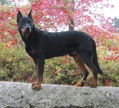 Le beauceron Coyotes, Hey Good Lookin, Puppy Mills, Doberman, Mans Best Friend, Cute Puppies, Dog Breeds, Cute Animals, Racing
