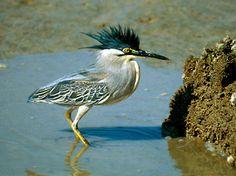Striated Heron Butorides striatus Habitat : Coastal mudflats Location : Parit Jawa, Johor, Peninsular Malaysia