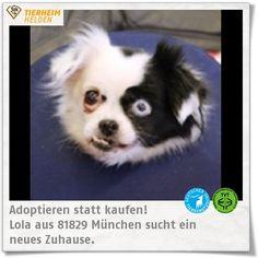 Lolas Besitzer sind umgezogen und haben sie im Tierheim München abgegeben.  http://www.tierheimhelden.de/tierheim-muenchen/   Aufgrund ihres Alters sucht Lola ein ruhigeres Zuhause. Größere Kinder und Artgenossen wären kein Problem. Die Hündin eignet sich sicher auch für Leute mit wenig Hundeerfahrung ;)