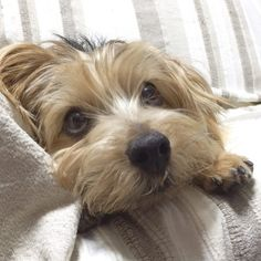 #dog #norfolkterrier #thatface #instadaily #pawstruck #pets_of_instagram #tflers #puppylover #mydogiscutest #excellent_dogs #cachorro #life #dogfeatures #chien #fluffy #puppylove #instapuppy #terriers #bestwoof #dogoftheday #ilovedogs #instagood #cutie #doggy #animallovers