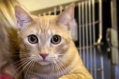 Mackenzie is an adoptable Tabby - Orange Cat in Canoga Park, CA. Mackenzie is a super 2 1/2 year-old (as of 6/1/13) girl cat and full of snuggles and love. She likes to be held and given attention. W...