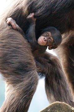 """Baby Chimpanzee """"Nayla"""" ~ Animal Tracks - Slideshows and Picture Stories - TODAY.com"""