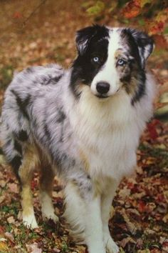 Australian Shepherd Blue Merle with Split Face