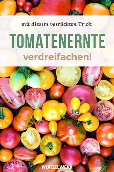 Deine Tomaten-Blüten fallen ab? So rettest du deine Früchte und verdreifachst deine Ernte! - Von leckeren Tomaten aus dem eigenen Garten dem Balkon oder Gewächshaus kann man doch nicht genug haben, oder? In meinem Artikel verrate ich dir einen genialen Trick mit dem Du bis zu dreimal mehr Früchte von deinen Tomaten Pflanzen ernten kannst. Mit einer Zahnbürste oder mit der Hand kannst du die Tomaten ganz leicht selber bestäuben #Tomaten #Selbstversorgung #Wurzelwerk Elves, Gardening, Vegetables, Flowers, Food, Planting Fruit Trees, Eco Garden, Lawn And Garden, Elf