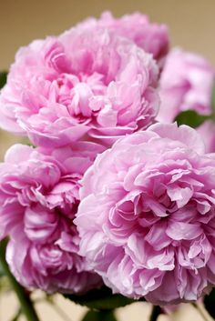 ~Austen English Rose - Sister Elizabeth