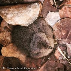 Cahow chick in burrow with bay grape leaves on #nonsuchisland in #Bermuda #rarebird #birdlife #audubon