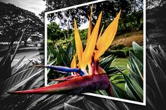 Bird Of Paradise   On the way to the lookout point in Punchb…   Flickr Exotic Flowers, Beautiful Flowers, Paradise Flowers, Bird, Outdoor Decor, Pretty Flowers, Birds