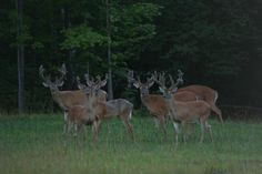 Whitetail Deer. I would love to see this bachelor group