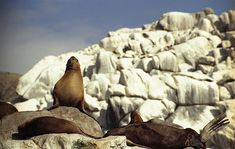 You wouldn't expect to see seals in the Atacama desert, but due to the Antarctic current keeping the sea cold right up to Peru, they thrive here on the islands off Pan De Azucar National Park in Chile.
