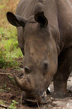 Rhino - Mpumalanga, South Africa