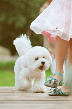 Pinot + Bichon Frises opawz.com supply pet hair dye,pet hair chalk,pet perfume,pet shampoo,spa....