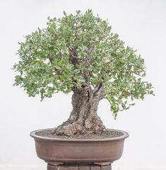 Quercus ilex #2 same tree as #1