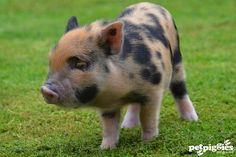 micro pig | Stunning spotty coloured micro piglet at petpigg… | Flickr