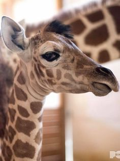 Tajiri - giving the side eye! Giraffe Pictures, Cute Animal Pictures, Nature Animals, Animals And Pets, Beautiful Creatures, Animals Beautiful, Cute Baby Animals, Funny Animals, Giraffe Art