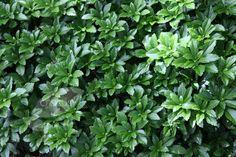 Pachysandra terminalis - Japanese spurge. Seriously, who calls a plant 'spurge'?! But apart from that, its a shade tolerant evergreen groundcover - ideal for underplanting the hawthorn hedge :0) £8.99