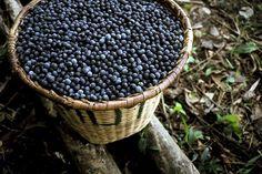 O açaí é nativo da floresta amazônica e muito consumido na região como parte da alimentação cotidiana, descubra aqui os benefícios do açaí.