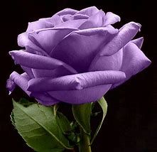Betty Boop, Jeans, lavender tshirt w/purple rose Purple Flowers, Cut Flowers, Rose Flowers, Flowers Pics, Purple Flower Pictures, Rose Pictures, Beautiful Roses, Beautiful Flowers, Pretty Roses