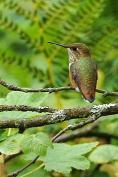 Animal Diversity Web | The rufous hummingbird (selasphorus rufus) consumes flies, ants, small beetles, tiny wasps, bees and other small insects for protein. Nectar is its most important food source for energy. It feeds on nectar from several different flowering plants, such as honeysuckle, scarlet sage, horsemint, and black locust; and plays an important role in pollinating at least 129 plant species. It also drinks sap for an extra food source when nectar is hard to find.