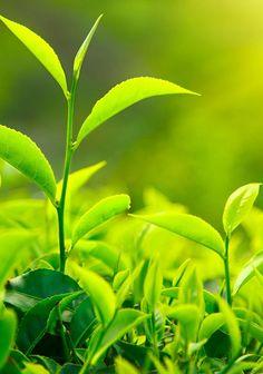 Un studiu publicat in Jama – American Medical Association a demonstrat ca ceaiul verde este un scut natural in fata cancerului ovarian. Este suficient sa consumi doua cani de ceai verde pe zi pentru a minimiza riscul aparitiei cancerului ovarian.