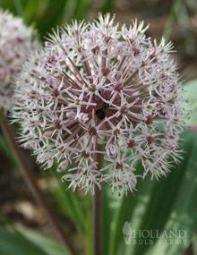 Ivory Queen Allium,  'Ivory Queen' allium