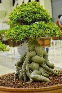 Bonsai Tree Care_39
