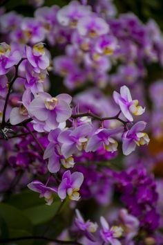 //Pink oncidium orchids by Nicholas Yau #flowers #orchids