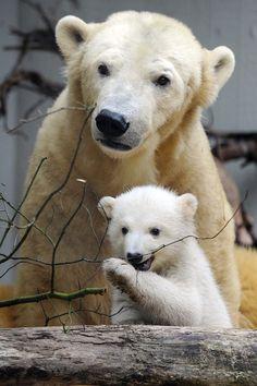 El pequeño oso polar Anori (D) explora su recinto al aire libre con su madre Vilma en el Zoo de Wuppertal, Alemania, este 29 de marzo de 2012. Anori nació el 4 de enero de 2012 y ha permanecido en un recinto interior con su madre los dos últimos meses. EFE/Marius Becke