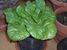 Il mondo di tbs.: Posso coltivare l'insalata sul balcone di casa mia?