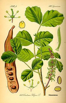 Ceratonia siliqua, commonly known as the Carob tree and St John's-bread,[1] is a species of flowering evergreen shrub or tree in the pea family, Fabaceae. It is widely cultivated for its edible legumes, and as an ornamental tree in gardens.